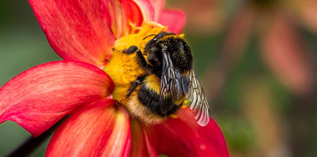 Bumblebee on a red and pink flower