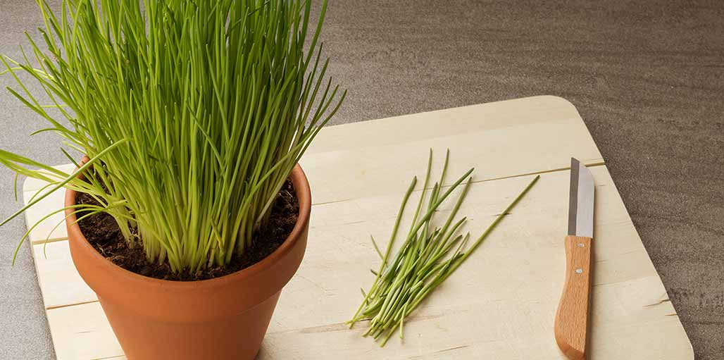 Pot of chives with knife to trim chives