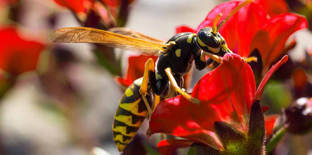 Yellow and black wasp on a red flower