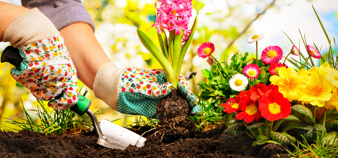 Woman in gardening gloves, planting flowers in garden