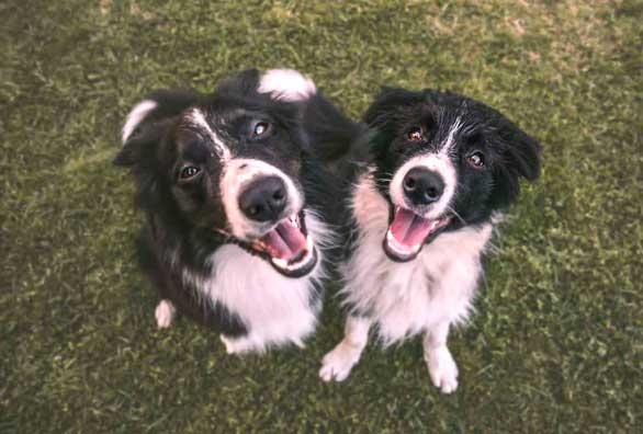 Happy Collie Dogs